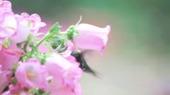 Male hummingbird in Canterbury bell flowers Stock Footage