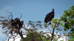 American Black Vultures on a tree in Everglades NP. Florida, USA. Stock Footage