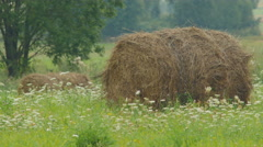 Hay rolls on a flowered meadow in hot summer day Stock Footage