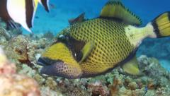 Titan triggerfish feeding marine life Stock Footage