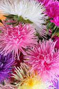 asters background - stock photo