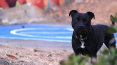Black Pit Bull Guard Dog Stock Footage