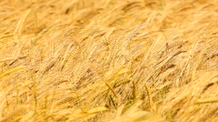 Golden barley swinging in wind in early summer Stock Footage