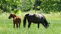 4k, horses eating grass in a meadow 6 Stock Footage