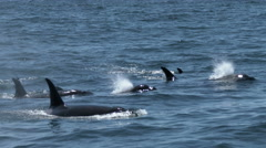 Orca, Killer Whale, Whale, Black Fish Stock Footage