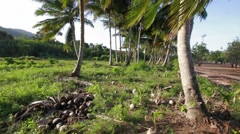 Wide angle shot of coconut palms in sunny countryside Stock Footage