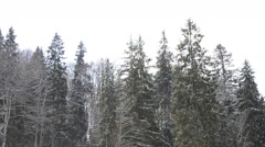 Snow falls on evergreen fir trees and leafless deciduous trees Stock Footage