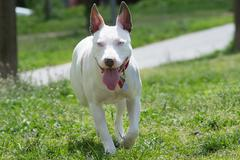 American pit bull terrier running. Stock Photos