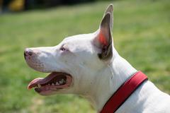 Portrait of a white American pit bull terrier with blue eyes. Stock Photos