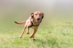 Happy hunt dog running at a park. Stock Photos