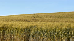 Cultivated field with wheat plants ready for harvest Stock Footage