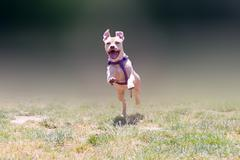Happy American pit bull terrier running. Stock Photos