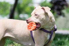Cute American Pit bull terrier playing with a ball. Stock Photos
