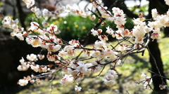 Pink Blossoms of Ume/Plum Trees in Japanese Botanical Garden Stock Footage
