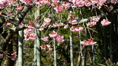 Pink Cherry Blossom Trees and Bamboo in Japanese Botanical Garden -Static- Stock Footage
