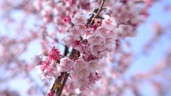 Pink Cherry Blossom Tree in Japanese Botanical Garden -Tilt Shift- Stock Footage