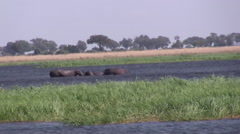 Hippos in the Chobe National Park BOTSWANA Stock Footage