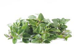 Oregano plant - stock photo