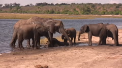 Elephants graze and water in the Chobe National Park, Botswana - stock footage