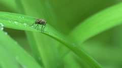 Small Fly on a dew covered blade of grass Stock Footage