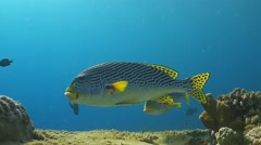Diagonal banded sweetlips on a cleaning station Stock Footage