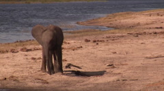 Elephants graze and water in the Chobe National Park, Botswana Stock Footage
