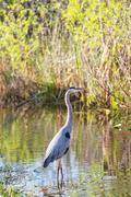 Stock Photo of Great blue heron