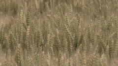 Mature wheat ears waving on a wind Stock Footage