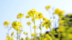 Tilt Shift Shot of Rape Blossom in Wind with Blue Sky Background Stock Footage