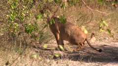 Female Lion Stock Footage