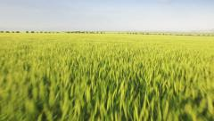Nature Sun Spring Landscape Field Wheat Plant Sunset Agriculture Green Grass Sky Stock Footage