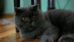 British short-hair cat laying under table indoors. Pet looking at camera Stock Footage
