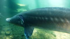 Giant Sturgeon Fish Swimming Underwater - stock footage