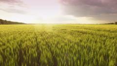 Wheat Green Landscape Sunset New Field Agriculture Spring Summer Nature Rural Stock Footage