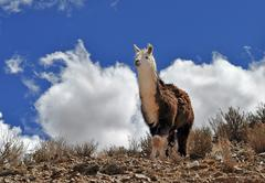 Vicuna on Andes in Salta Province. Argentina - stock photo