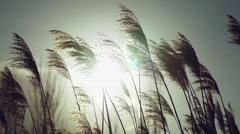Stock Video Footage of Wild grasses blowing in the wind. Shot in slow motion