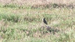 Burrowing Owl in early spring Stock Footage