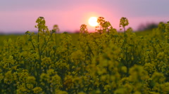 Brassica rapa canola field at sunset Stock Footage