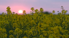 Brassica rapa field at sunset - stock footage