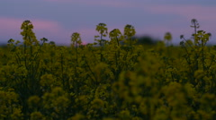Brassica rapa canola field at sunset - stock footage