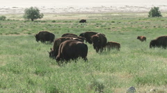 Buffalo in the green grasses of spring Stock Footage