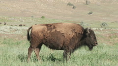 Buffalo moving through the green grass Stock Footage