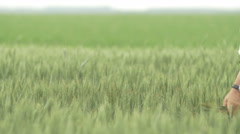 Man walking and looking at his wheat field with a wheat sheaf Stock Footage