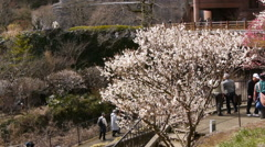 Pink Blossoms of Ume/Plum Trees in Japanese Botanical Garden -Pan Left/Tilt Down Stock Footage