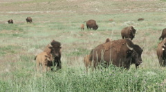 Buffalo foraging in the green grasses - stock footage