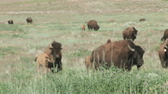 Stock Video Footage of Buffalo foraging in the green grasses
