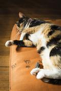Calico Cat Sleeping on Pillow - stock photo