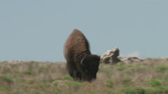American Bison (Buffalo) Grazing  - stock footage