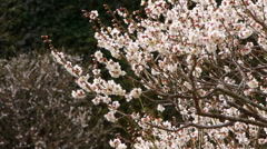 White Blossoms of Ume/Plum Trees in Japanese Botanical Garden Stock Footage