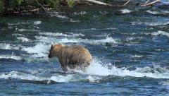 Blonde Colored Brown Bear Runs and Dives at Fish in Rapids Stock Footage